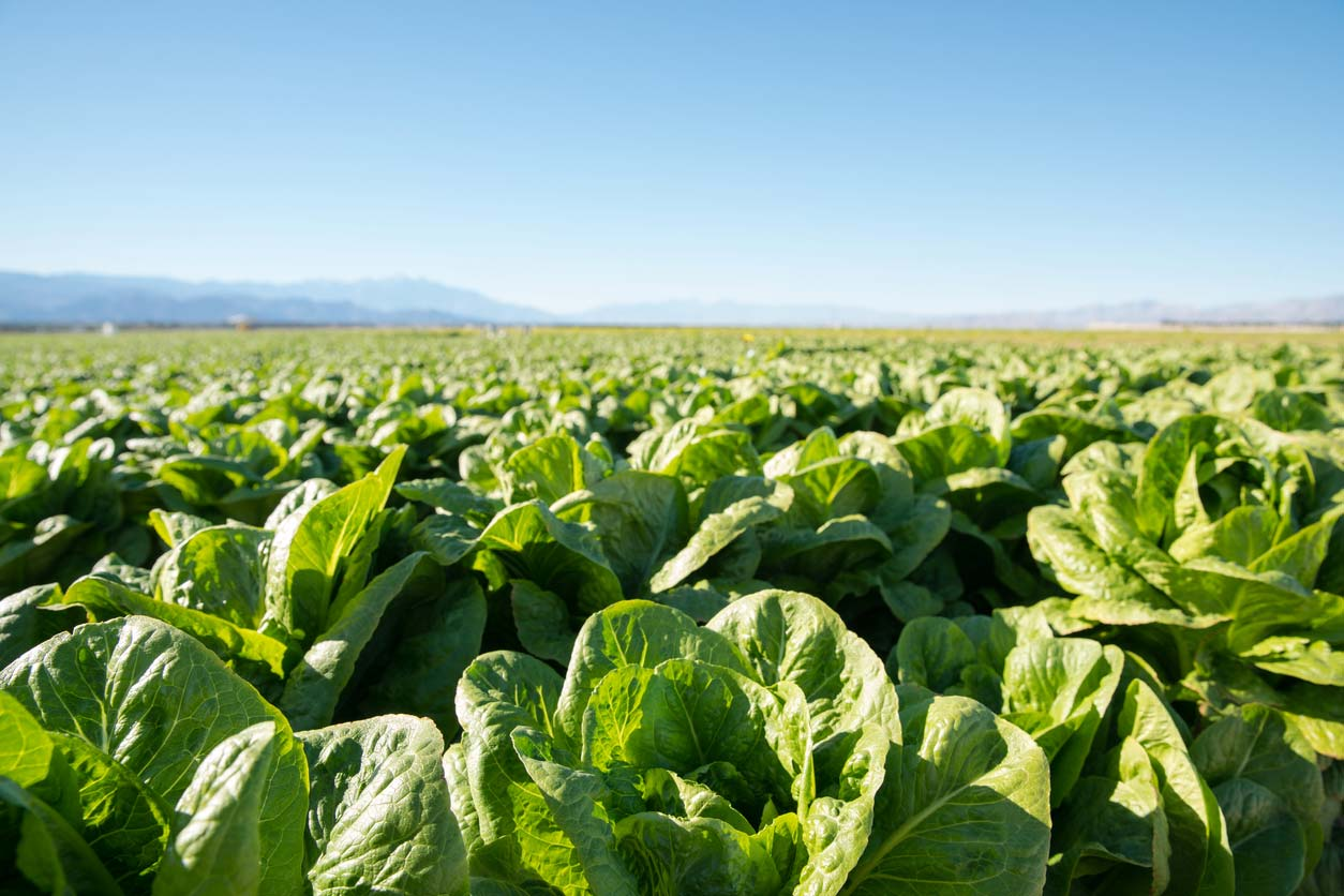 fertile field of organic lettuce