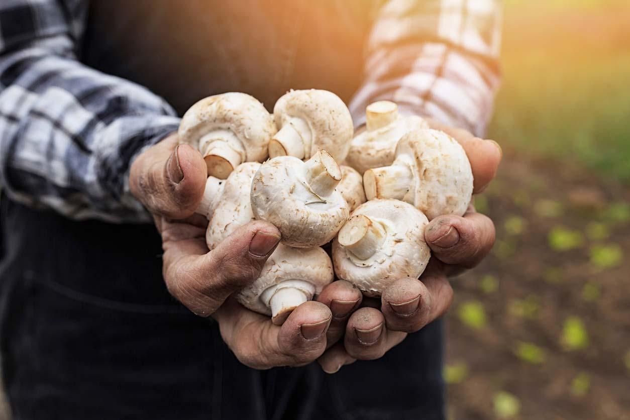 Hands holding white mushrooms