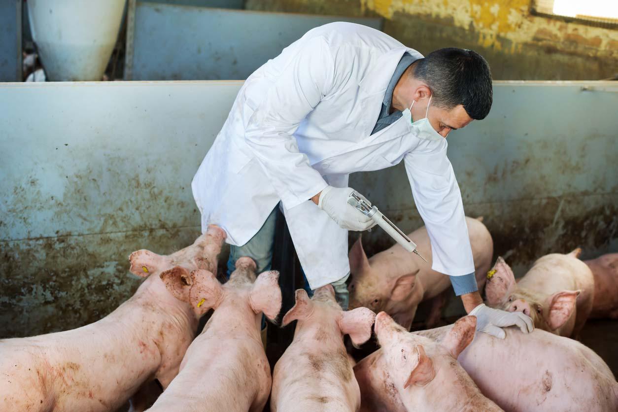 vet administering vaccine to pigs