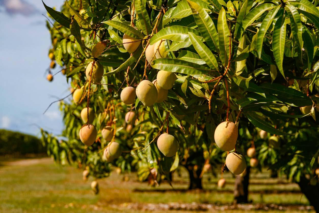 crop of sun kissed mango fruit ripening on tree