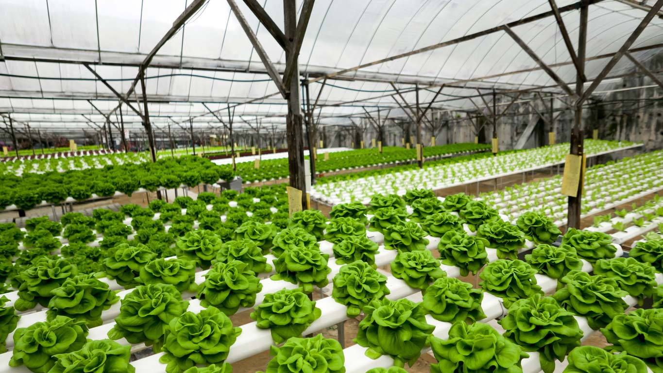 indoor hydroponic lettuce farm