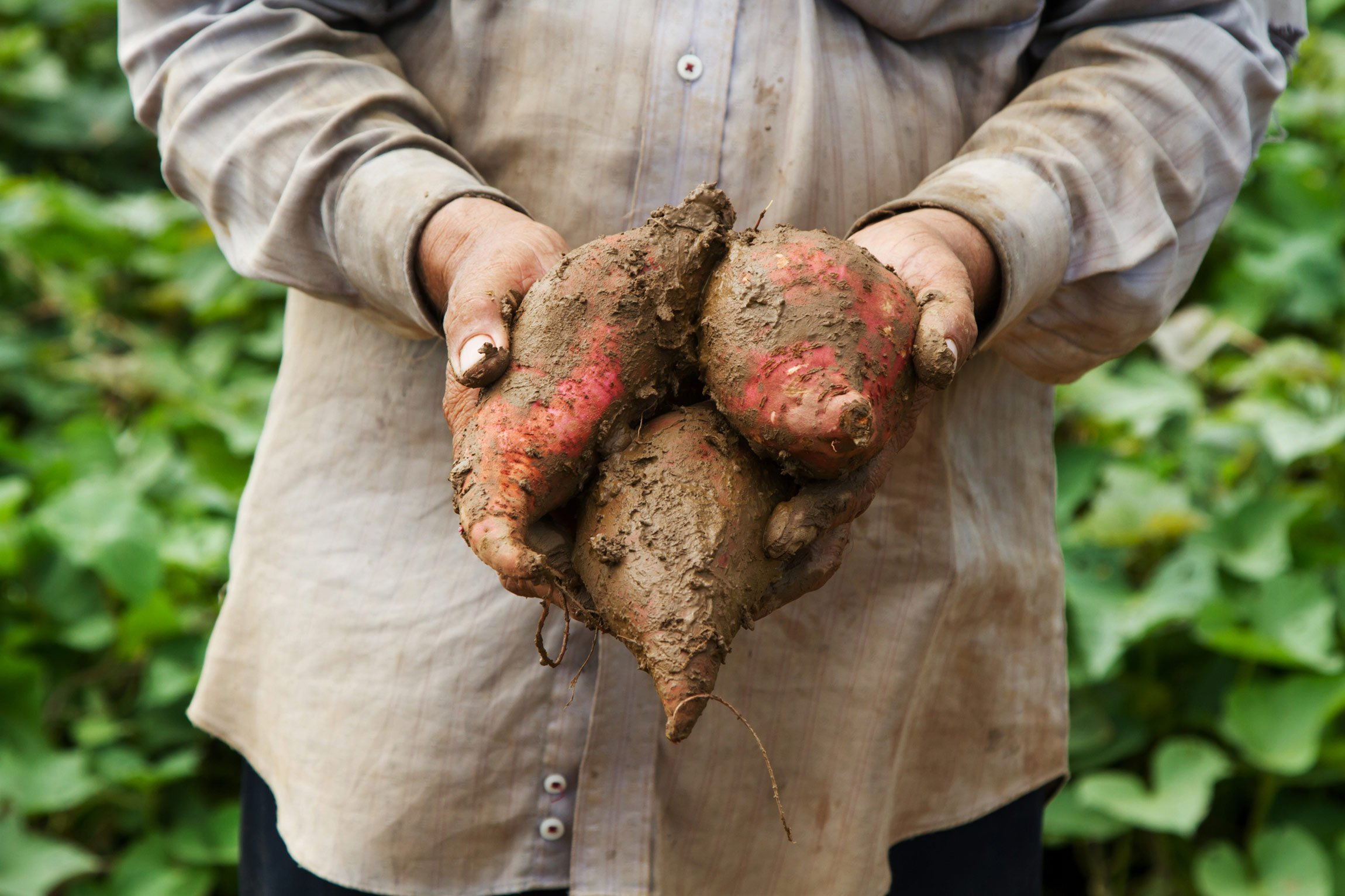 Holding freshly picked sweet potatoes