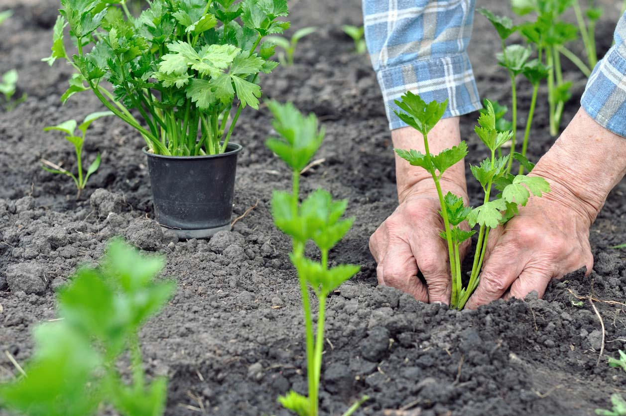 farmers hands planting celery seedling