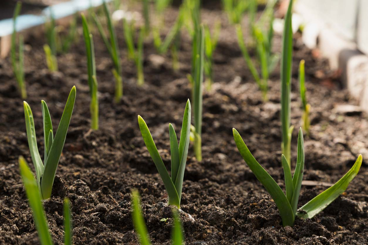 growing garlic sprouts in garden