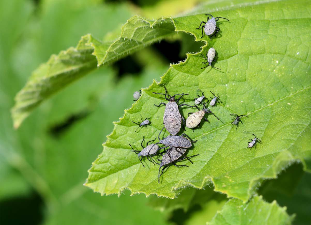 Squash plant bugs