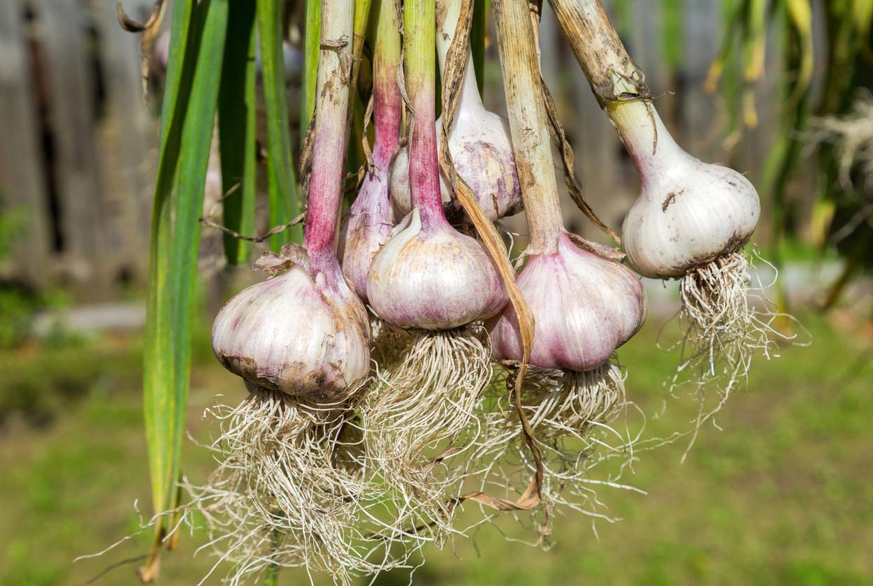 freshly harvested garlic bulbs drying outdoors