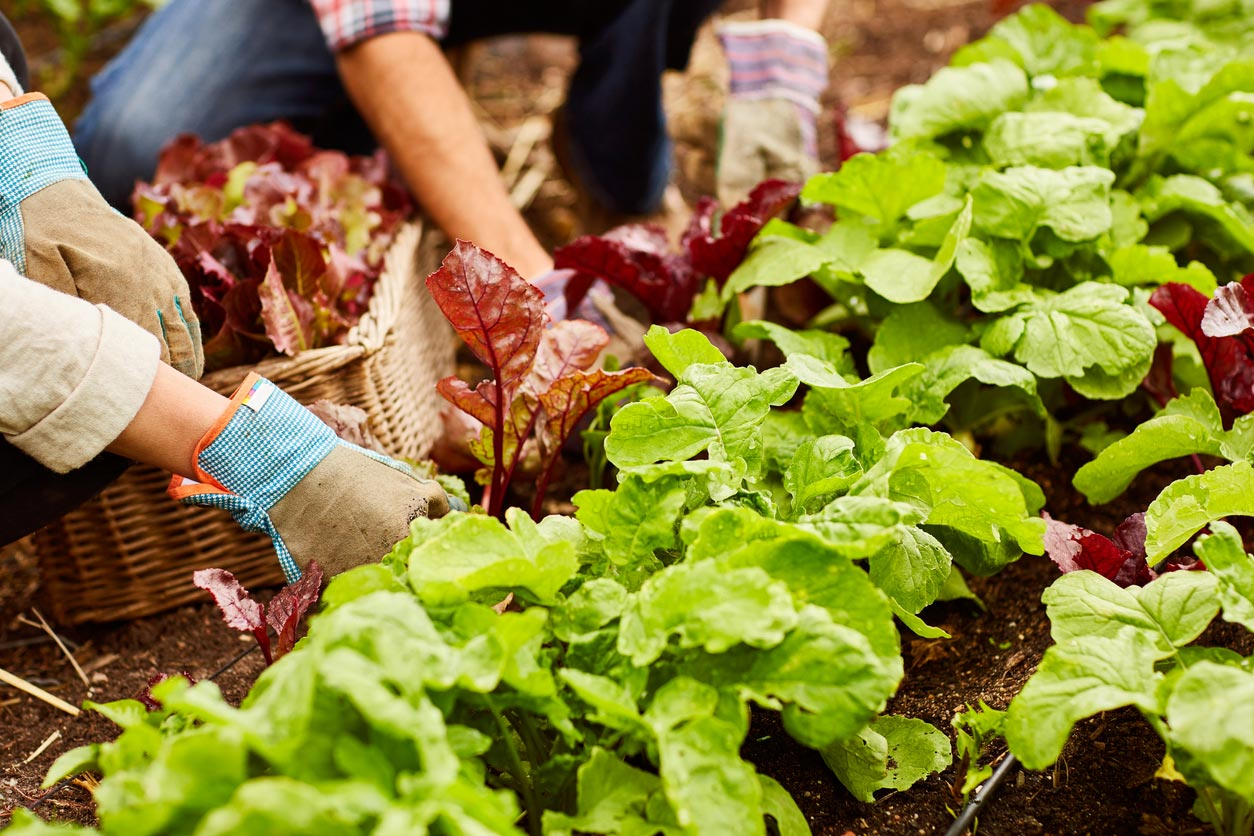 harvesting lettuce in a home garden