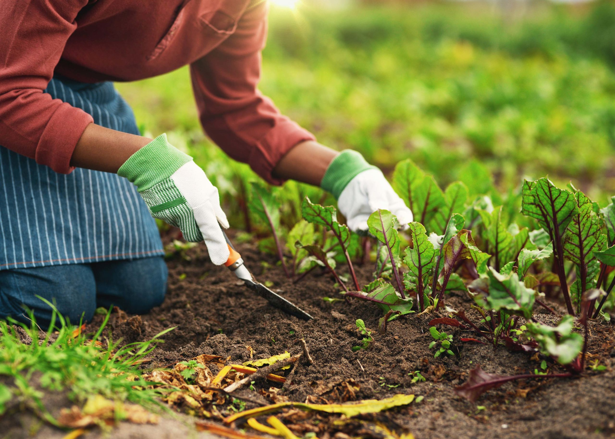 Woman of color prepping vegetables in the soil