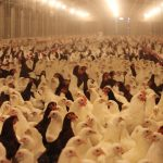 Chickens in a factory farm coop