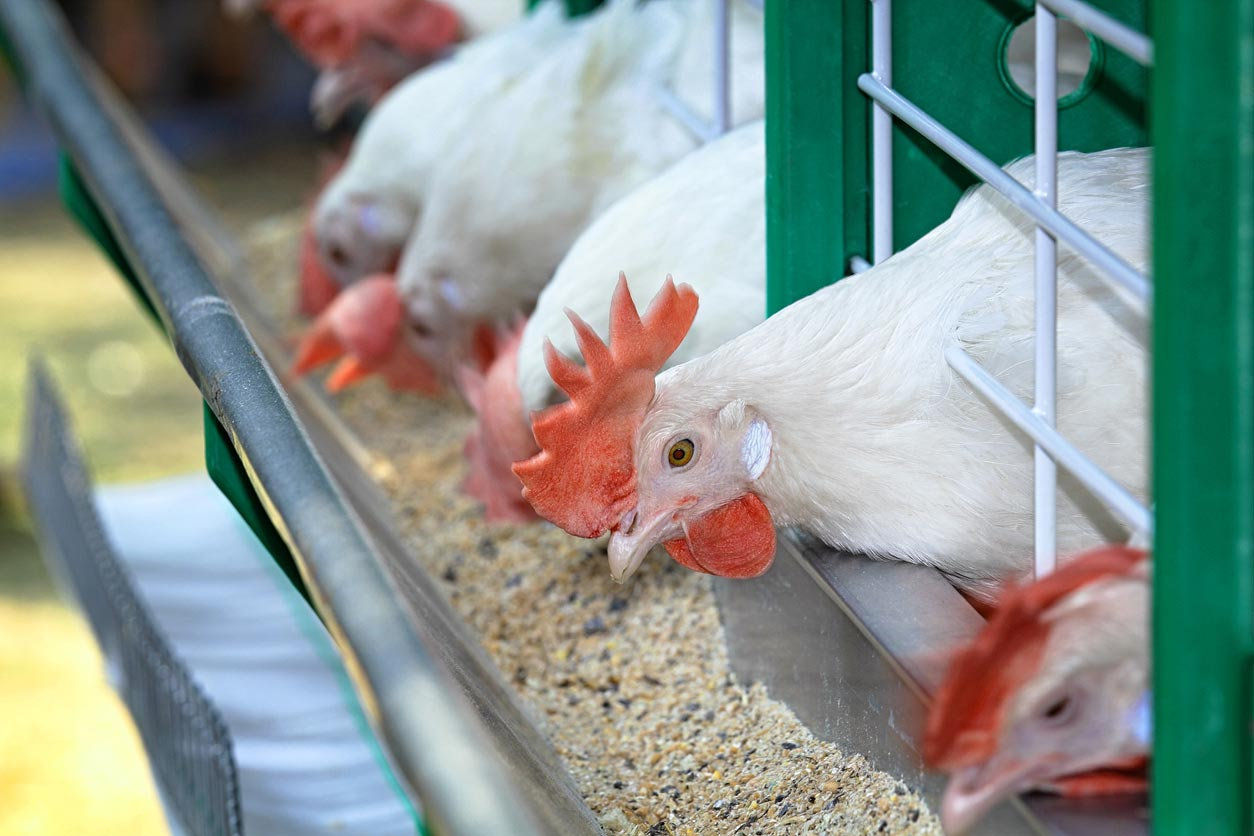 white chickens contained poultry farm