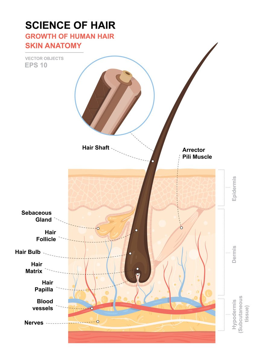 anatomical drawing of hair follicle anatomy - hair health
