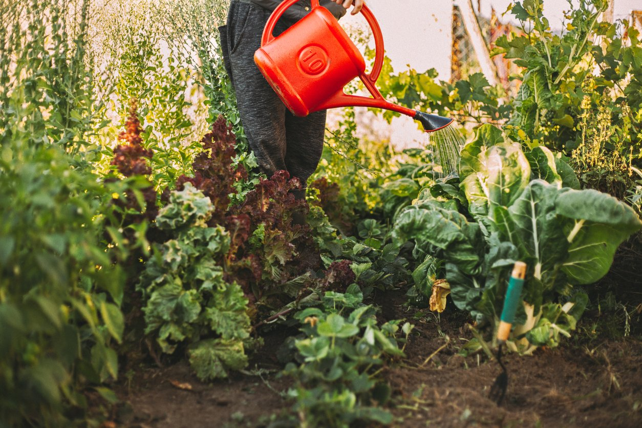 Watering plants in edible gardens