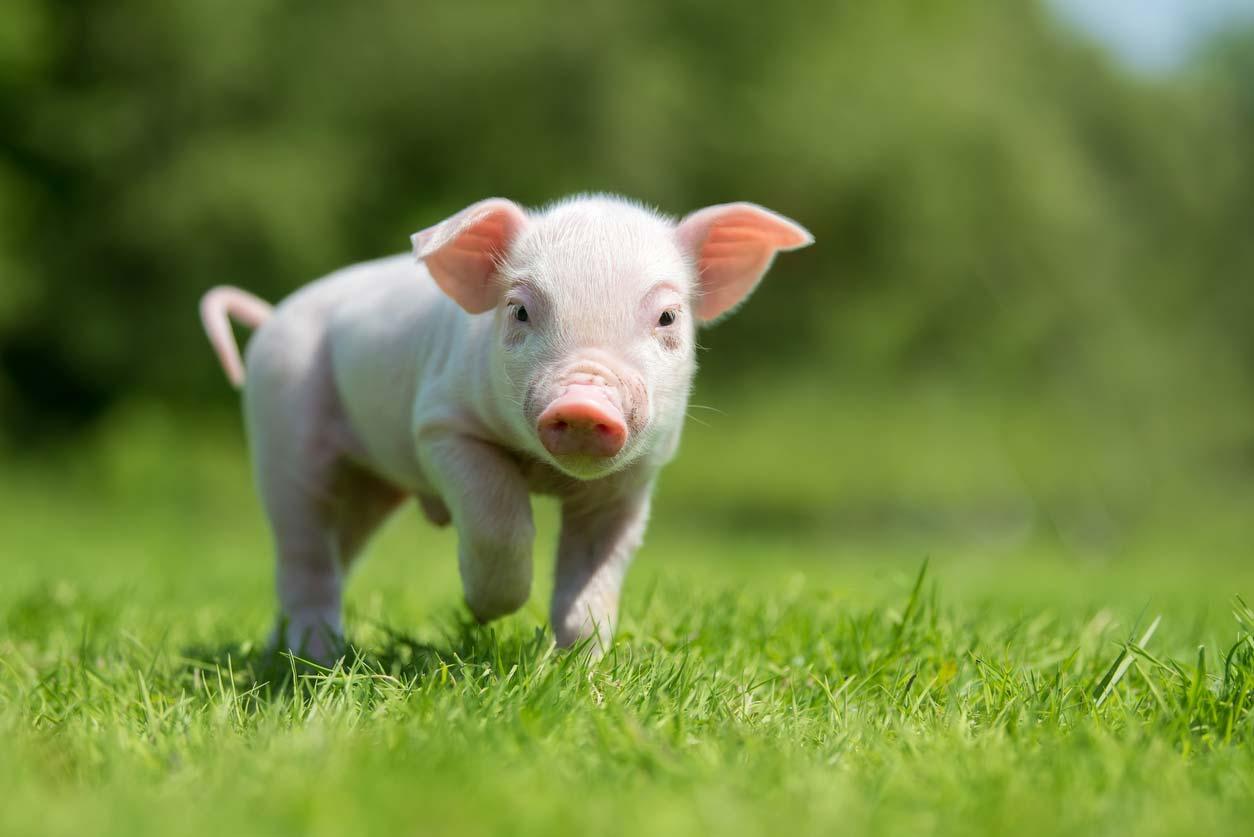 newborn piglet in green grass