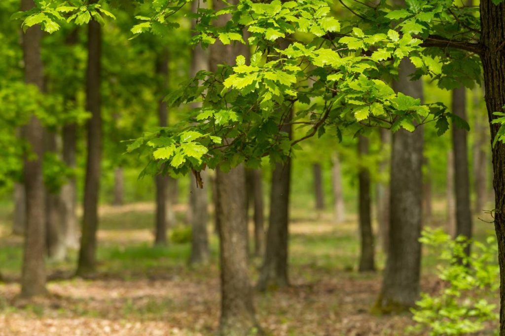 Oak forests were food forests to native nations