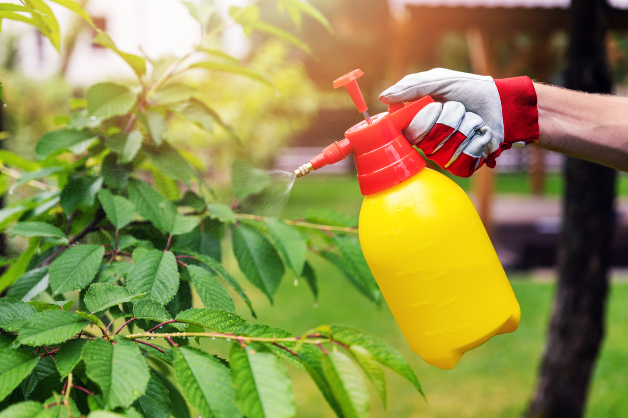 gardener spraying cherry tree against pests and diseases