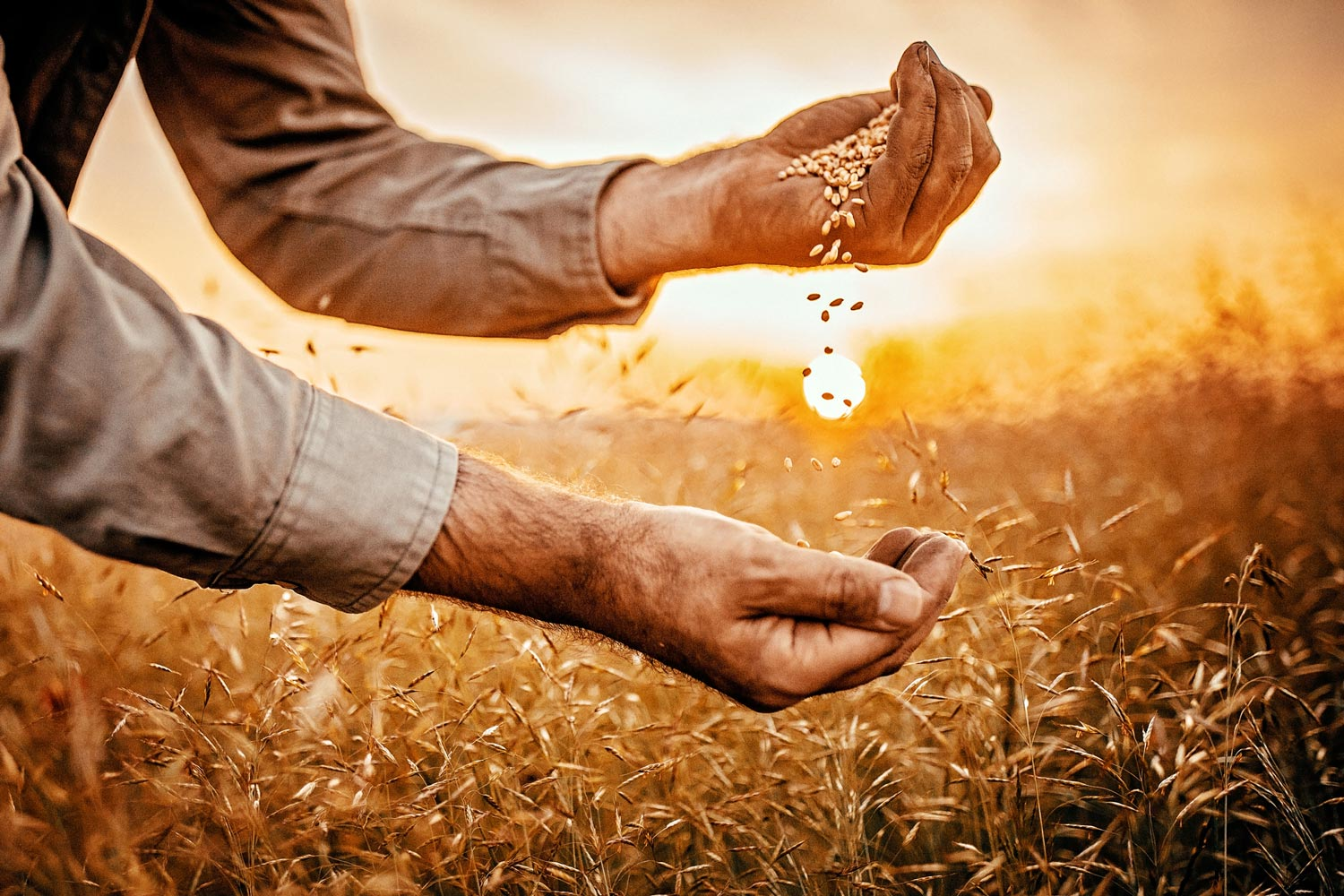 farmer holding grain in sunset