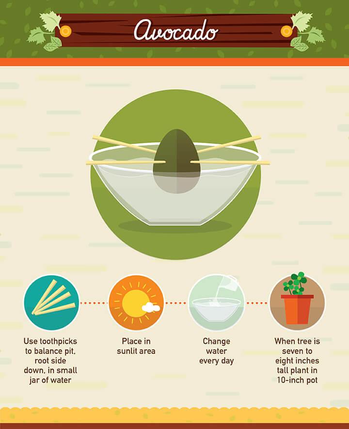 You can grow your own avocado