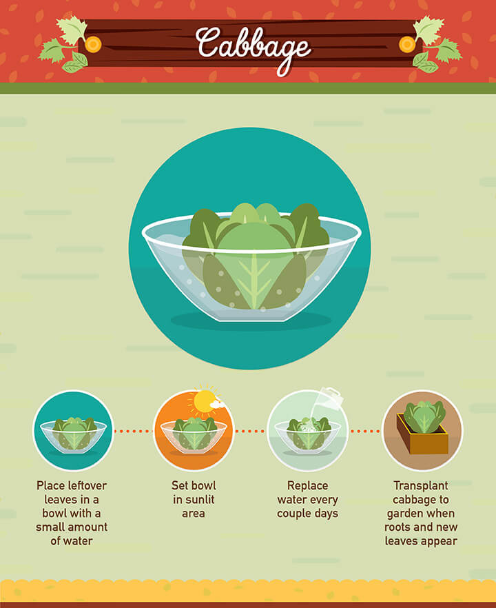 How to grow your own cabbage from scraps
