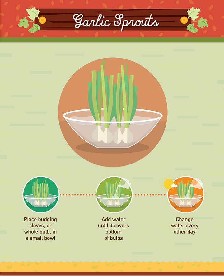 How to grow garlic sprouts from scraps