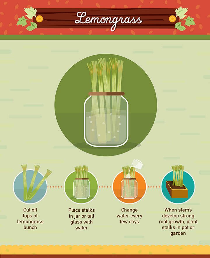 How to grow lemongrass from scraps