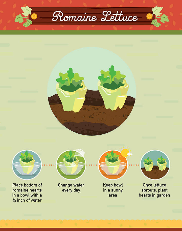 How to grow romaine lettuce